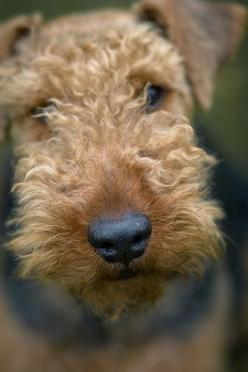 ✨The Airedale:...smart, funny, loyal, coragus, Loving, once you have had a Airedale in your life they leave a piece of their heart with you and you never forget them they are always with you