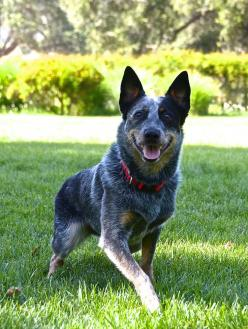 The Australian Cattle Dog, is a breed of herding dog originally developed in Australia for driving cattle over long distances across rough terrain.: Australian Cattle Dogs, Blue Heeler Dogs, Blue Heelers, Australian Blueheeler