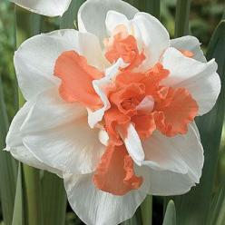 The best double-flowered pink Daffodil in the world, 'My Story' is often used to raise funds for Multiple Sclerosis.: Wayside Gardens, Story Daffodil, Pink Daffodil, Flowered Pink, Catalog Spree, Double Flowered, Gardening Flowers Plants