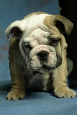 The Bulldog is known to be of good temperament. Most have a friendly, patient nature. Generally, Bulldogs are known for getting along well with children, other dogs, and pets.  They can become so attached to home and family, that they will not venture out