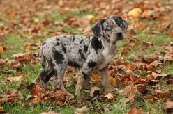 The Catahoula Leopard Dog is driven and has a work ethic that many humans lack. He is happy to go running with his owner but his true love is hunting down wild boars deep in the swamps of Louisiana. Although the Catahoula Leopard Dog loves his family, he