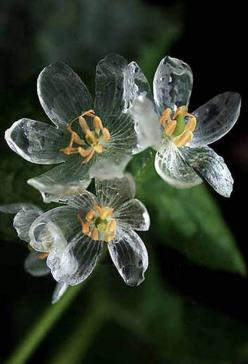 The Diphylleia Grayi is a wonderfully unique flower whose petals turn clear as glass when it rains. Commonly referred to as the skeleton flower, it hails from the moist wooded mountainsides in the colder regions of China and Japan.: Flowers Turn, Diphylle