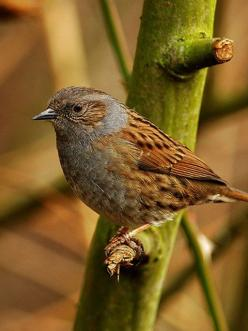 The Dunnock (Prunella modularis) is a small passerine, or perching bird, found throughout temperate Europe and into Asia. It is by far the most widespread member of the accentor family, which otherwise consists of mountain species. Other common names of t