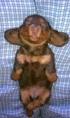 The Friendly Fur : Top 10 Smallest Dog Breeds: Animals, Dogs, Dachshund, Happy Puppy, Doxie Puppy, Puppys, Doxies, Baby, Sweet Dreams