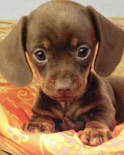 The most adorable little dachshund: Animals, Dogs, So Cute, Dachshund, Pet, Puppys, Puppy, Box, Baby