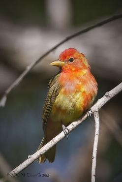 The summer tanager, is a medium-sized American songbird. Formerly placed in the tanager family, it and other members of its genus are now classified in the cardinal family. Wikipedia: Birds Tanager, Observe Intently Birds, 2014 Lewisville, Cardinals Birds