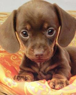 the sweetest little doxie face ever!..M.T. Not a big fan of this breed, but this IS the cutest little face! As a kid we had a litter of 6 puppies, from a mom who was part wire-fox terrier/part poodle and she was impregnated by our shih tzu AND a neighborh