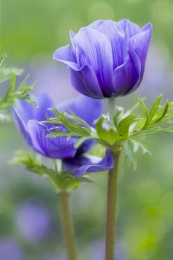 The translucence of the flower makes this a beautiful anemone picture: Blue Flowers, Purple Flowers, Pretty Flowers, Beautiful Flowers, Flowers, Garden, Anemones