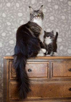 These cats are so majestic. The adult is beautiful and the baby is adorable. I have no more words.: Cats, Beautiful Cat, Animals, Maine Coon, Kittens, Kitty, Mini, Coon Cat