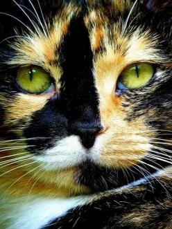 This looks just like my baby with Idaho (backwards) on her nose! Mrs Snaps Mirror Image twin!!!: Kitty Cat, Animals, Beautiful Cats, Cat Eyes, Pretty Cat, Kitty Kitty, Green Eyes, Calico Cats, Pretty Kitty