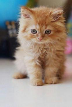 this looks like a baby Stella...what do you think @Mary Powers Powers McClung..FOR SURE!!!  HOW F_CKIN CUTE IS SHE @Hannah McClung !!!  :O): Orange Cat, Animals, Ginger Kitten, Kitty Kitty, Orange Kittens, Cats Kittens, Orange Kitty