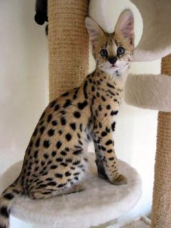 This picture of an African Serval Cat is the epitome of powerful, athletic, muscular small wild cats and is the foundation ancestor cat of the Savannah breed!!: Cats, Wild Cat, Big Cat, Beautiful Cat, Animals, Pet, Savannah Cat