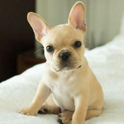 Too cute Limited Edition French Bulldog Tee http://teespring.com/lovefrenchbulldogs: Animals, French Bulldogs, Pet, Adorable Frenchie, Frenchies ️, French Bulldog Puppies, French Bull Dogs, French Bulldog Puppy