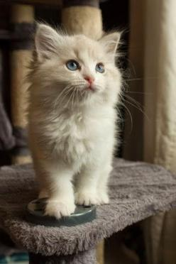 Top 5 Calm Cats for Kids: Kitty Cats, Animals, Sweet, Blue Eye, Kittens