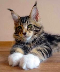 Top 5 Cat Breeds for Children ~ Maine Coons can rival the size of small dogs and are highly intelligent, playful and energetic. They thrive in families that include children and other pets, including dogs. Be aware that they are very dexterous and are cap