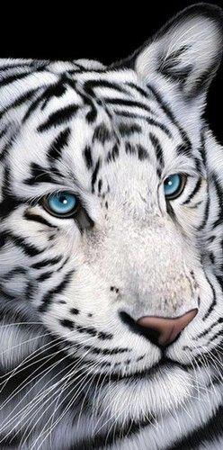 "Towel / Beach Towel - White Tiger with Blue Eyes Cotton Beach Towel 30""x60"" 1: Wild Cat, White Tigers, Big Cat, Animal Eye, Beach Towel, Blue Eyes, Beautiful White Tiger"