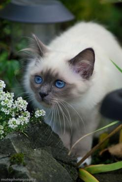 transylvanialand: Zoe Lakota. by Muta Takes A...: Kitty Cat, Kitten, Beautiful Blue, Beautiful Cats, Birman Cat, Pretty Cat, Beautiful Eyes, Blue Eyes, Kitty Kitty