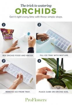 Try this brilliant watering tip once per week to make sure your orchid gets the perfect amount of water. Click to see our video for more Orchid care tips and tricks.: