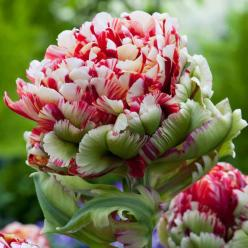 Tulip 'Double Flaming Bird' - Tulip Bulbs - Van Meuwen: Amazing Flowers, Bird Tulip, Plants, Beautiful Flowers, Birds