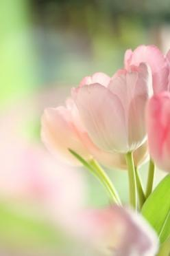 Tulips: Pastel, Color, Beautiful Flowers, Things, Springtime, Garden, Photo, Pink Tulips