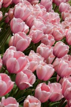 tulips: Spring Blossom, Pretty Pink, Tulipa, Tulip Time, Photo, Pink Tulips