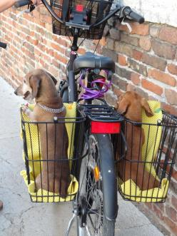 Two dogs, one in each basket on the sides of the back, getting a ride on a bike: Animals, Dogs On Bikes, Cutest Dogs, Dachshund, Doxies, Dogs Bike, Bike Dog Basket, Wiener Dogs