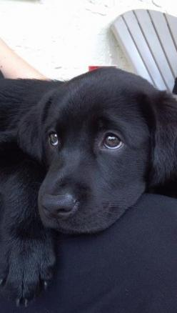 Ughh! Those eyes! Mine give me that look too! Love Black Labs - My Phoebe has been one of the sweetest dogs I've ever had! My old Lab, Alexa, was too!: Labrador Retriever, Blacklab, Black Lab Puppy, Dogs, Lab Puppies, Black Labs, Black Labrador
