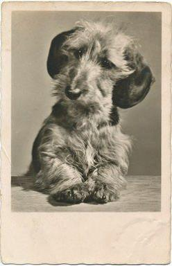 Vintage Wirehaired Dachshund: Parade Vintage, Dackelpudding De, Vintage Wirehaired, Vintage Dogs, Dachshund Photo, Dachshund S, Dachshund Parade