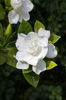 When and how to prune Gardenia: Gardenia Smell, Gardenia Bush, Gardenia Shrub, Gardenias, Pretty Flower, Gardenia Flower, Favorite Flower, Prune Gardenia