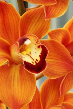 While recently battling to repot a Cymbidium, I told myself - 'No more Cyms!'  I'd make an exception, I think, for one this color!: Orangeorchids, Orange Flower, Color, Orange Cymbidium, Cymbidium Orchids, Orange Orchids, Flowers, Orange Crush