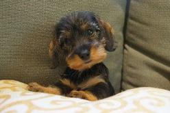 Willow Springs Miniature Wirehaired Dachshunds | Gallery: Miniature Dachshund Wirehaired, Animals, Dachshund Puppies, Doxie, Wirehaired Dachshunds, Wirehaired Dachshund Puppy, Wire Hair, Dog, Miniature Wirehaired Dachshund