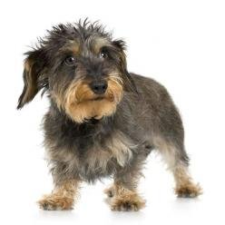 Wire-haired dachshund : Cat, Dogs, Wirehaired Dachshund Terrier, Doxies, Puppy, Wirehair Dachshund, Photo, Animal