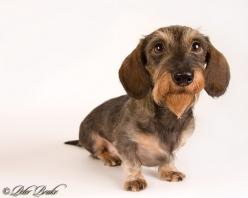 wirehaired dachshund: Wirehair Doxie, Dachshunds So, Darling Dachshunds, Dachshund, Dachshund Click, Photo, Doxies Doxies Doxies Cute, Furry Friends