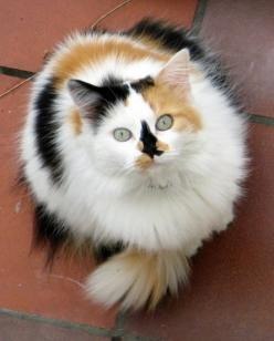 Woah Calico.: Cats Calicos, Kitty Cats, Animals, Cats Calico Chimera Tortishell, Calico Cats, Chat, Kitties, Calico Kitty, Cats Kittens