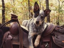 www.horseback-adventures.com: Cowboy, Animals, Australian Cattle, Horses, Pet, Blue Heelers, Cattle Dogs, Friend