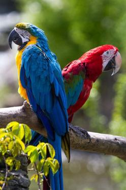 Yellow & Blue Macaw & Scarlet Macaw: Macaw Scarlet, Animals Google, Scarlet Macaw, Poultry, Birds Parrots, Yellow Blue, Beautiful Birds, Animals Birds, Blue Macaw