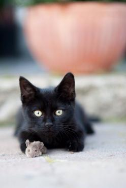You are suppose to chase the mouse, kitty!: Animals, Black Kitty, Black Cats, Blackcats, Black Kittens, Friend