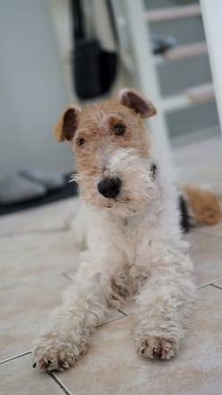 Zorro ist sehr aufmerksam und beobachtet genau.: Wire Hair Fox Terriers, Foxterrier Wire, Wire Haired Fox Terrier Puppy, Fox Terrier Wire, Wired Hair Terrier, Wire Fox Terrier Puppies, Photo, Wire Fox Terriers
