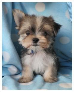 Yorkie pup with one ear up, and the other down.  Too cute!if i could have any dog it would be  a yorkie