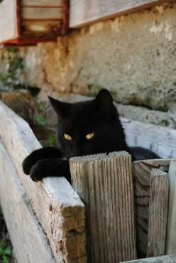 """""""Cats only pretend to be domesticated if they think there's a bowl of milk in it for them."""" ― Robin Williams. http://www.annabelchaffer.com/: Black Kitty, Black Cats, Cats Black, Blackcats, Chat, Feline"""