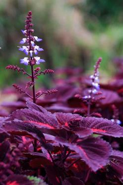 """Purple Coleus is a foliage plant that grows a spike with tiny flowers. Beautiful summer annual that fills out so nicely ~ it can get very very large under the right conditions and care!"": Beautiful Flower, Color, Purple Flowers, Plants, Gardening"