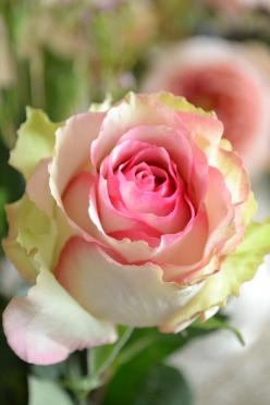 """""""What I am looking for is not out there.  It's in me."""" --Helen Keller (#meditation #Inspirational): Pink Roses, Fresh Rose, Beautiful Roses, Color, Beautiful Flowers, Pink, Rose Garden, Flower"""