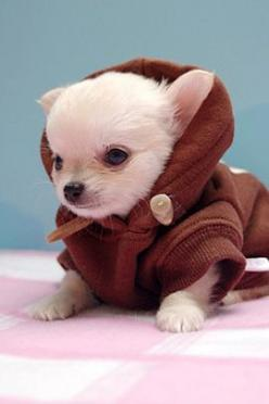 50 Cute Baby Animals that Make You Smile | The Design Inspiration: Animals, Chihuahuas, Dogs, Pets, Adorable, Puppy, Baby