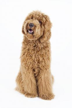 8 Surprising Facts about the Labradoodle: Awesome Dogs, Labradoodle Dogs, Labradoodle Grooming Haircuts, Pet, Labradoodles Puppy, Golden Doodle Haircut, Labradoodle Haircut, Goldendoodles Grooming, Goldendoodle Dogs