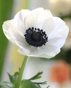 Anemone coronaria- These bulbs bloom for two to three weeks in late spring in zones 7 to 10, where they are winter-hardy. They can be planted in the spring for bloom throughout the summer in colder areas.: White Flower, White Anemones, Anemones Flower, We