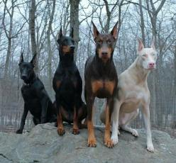: Animals, Dogs, Doberman Pinscher, Color, Pets, Beautiful, Dobermans, Albino, Friend