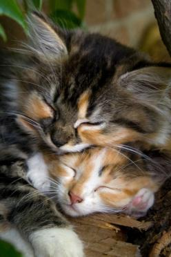 awww look at the cute kittens sleeping together OMG it is so so cute like the cutest things ever but not awww they are so so cute kittens!!!!: Kitty Cats, Animals, Sweet, Pet, Kitty Kitty, Kittens, Feline, Calico Cat