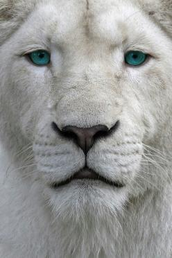 Beautiful eyes! www.woakao.com www.facebook.com/pages/Woakao/362227273893807 http://pinterest.com/woakao/: White Lions, Big Cats, Animals, Nature, Bigcats, Beautiful, Wild Cats, Eye