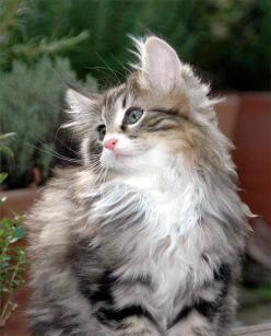 Beautiful Norwegian Forest Cat - what Lohki, Laddie, and Cooper looked like as kittens... Beautiful kittens!: Forests, Kitty Cats, Animals, Norwegian Forest Cat, Kitty Kitty, Kittens, Beautiful Norwegian, Cat Lady