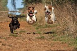 Black dog running after two white puppies.. Click the pic for more aww: Flying Dogs, Cat, Jack Russell, Animals, Funny Animal Pics, Pets, Animal Friends, Photo, Furry Friends